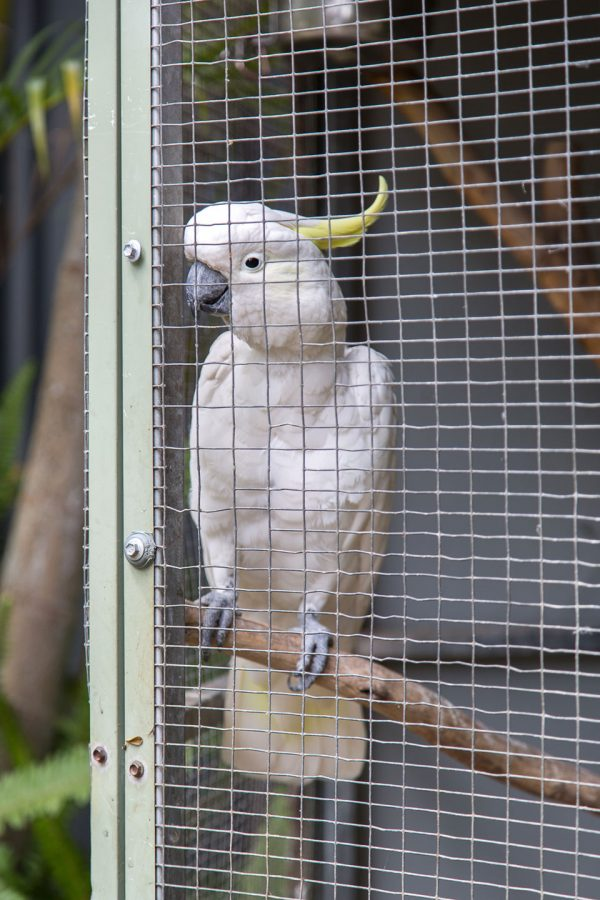 nambour-rainforest-village-white-cockatoo